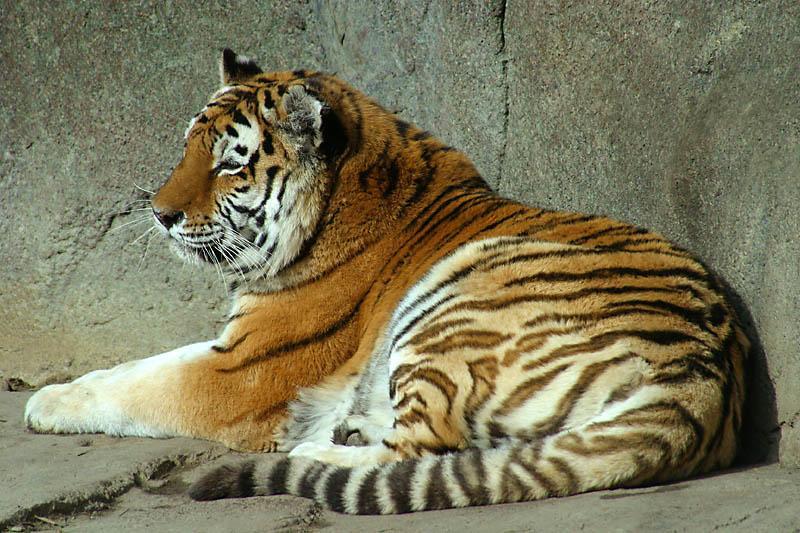 虎是体形最大的猫科动物,主要分布在亚洲.